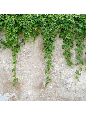17-DD118712 Climbing Leaves Fototapeta flis 350×255 cm