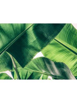 6-DD118552 Banana Leave Fototapeta flis 350×255 cm